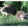Lutte contre la rage – Plusieurs animaux surveillés de près