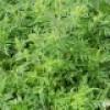 Des corvées citoyennes pour arracher de l'herbe à poux