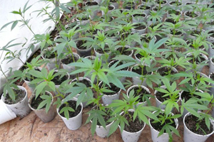 Plantation cannabis exterieur for Plantation de cannabis en exterieur
