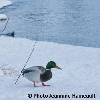 Déglaçage de la rivière Châteauguay dans mode de vie canard-glace-riviere-hiver-%C2%A9-Photo-INFOSuroit.com_Jeannine-Haineault