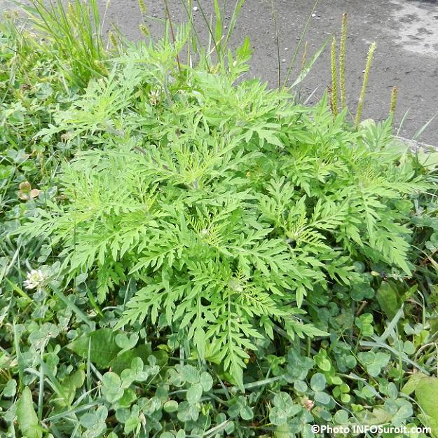 Un herbicide cologique pour lutter contre l herbe poux - Anti herbe ecologique ...