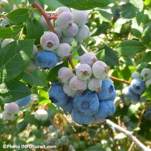 bleuets-geants-grappes-de-bleuets-en-corymbe-bleuetiere-Saint-Antoine-Abbe-Photo-INFOSuroit_com