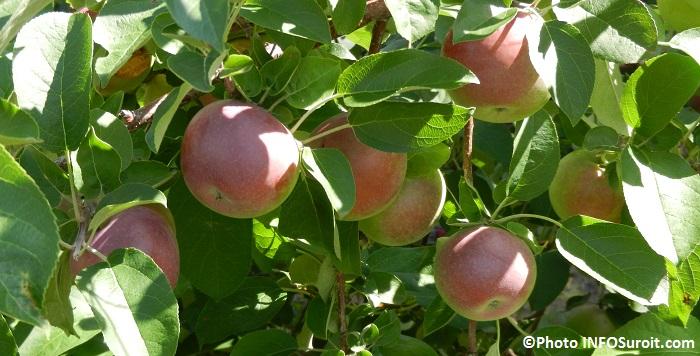 cidrerie Pommeraie_du_Suroit pommes Photo INFOSuroit_com