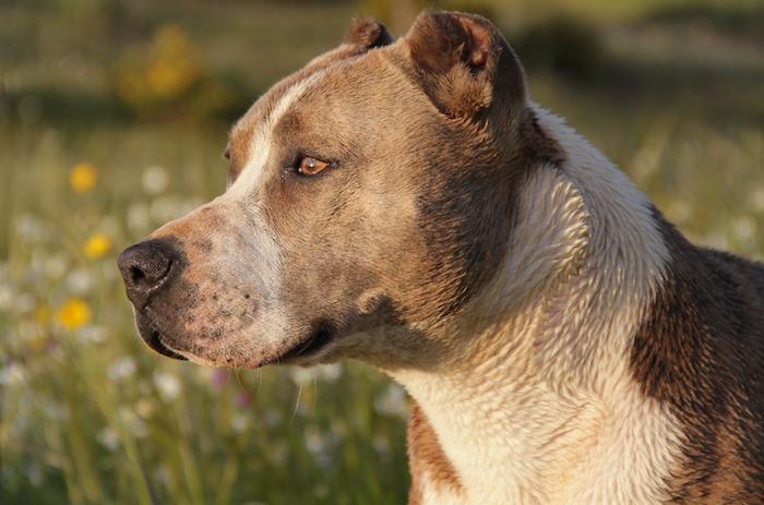 animal-chien-pitbull-photo-Pixabay-via-INFOSuroit