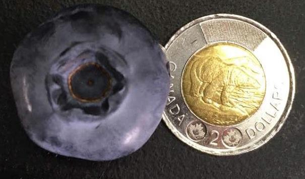 Bleuet de corymbe avec piece de 2 dollars Photo courtoisie Florence_Berard