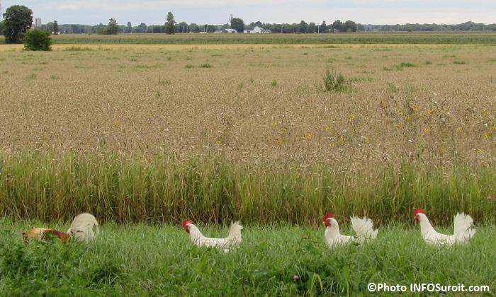 agriculture champ poules coq ferme Photo INFOSuroit_com
