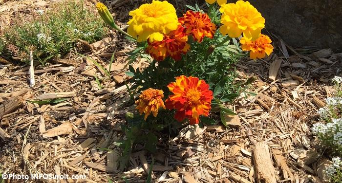 paillis de cedres avec fleurs jaunes oranges et blanches Photo INFOSuroit_com