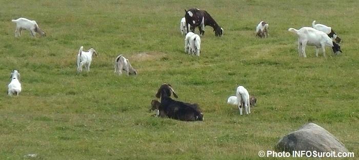 chevres biquettes agriculture animaux Photo INFOSuroit_com