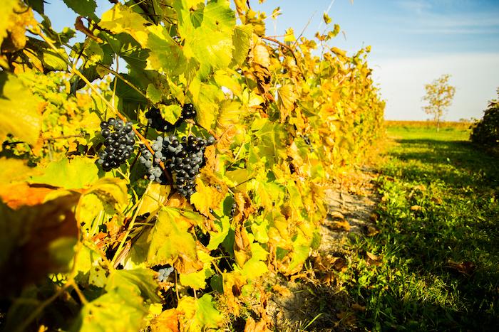 vignoble_jo_montpetit-vignes-raisins-photo-courtoisie-bs