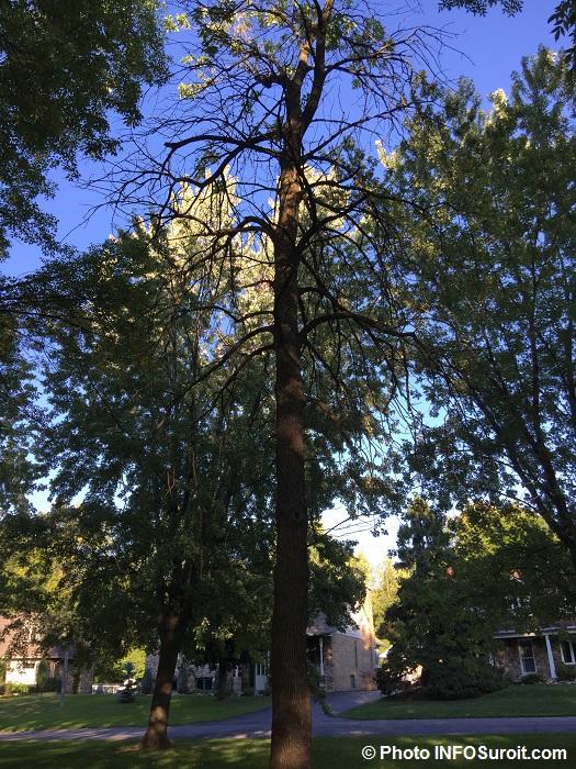 arbre-frene-au-parc-paquette-valleyfield-photo-infosuroit-com