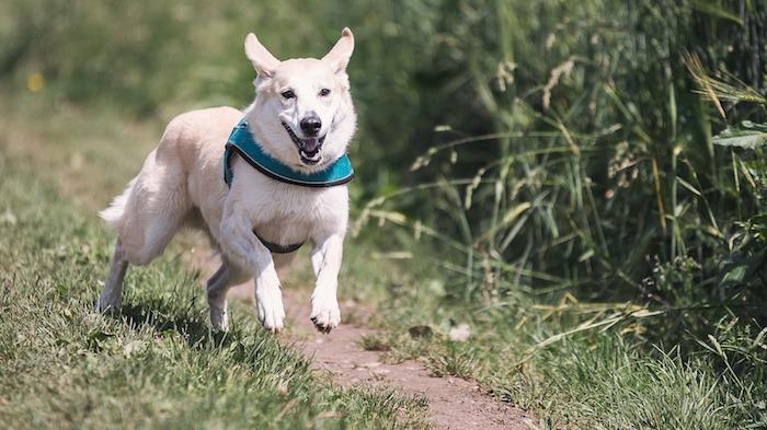 chien-berger-blond-sans_laisse-photo-pixabay-via-infosuroit