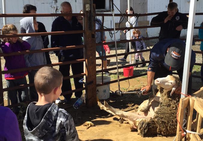 portes-ouvertes-fermes-du-qc-mouton-tonte-visiteurs-photo-courtoisie-upa