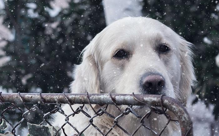 chien Golden hiver Photo ShamelessMartin via Pixabay