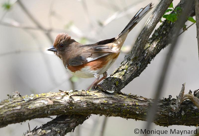 oiseau-Tohi_a_flancs_roux-Photo-Copyright-MoniqueMaynard-par-HSB - copie 2