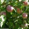 Le Temps des pommes, cela se vit pleinement dans le Suroît