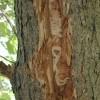 Agrile du frêne – Vaudreuil-Dorion veut freiner l'infestation
