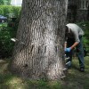 Agrile du frêne – Vaudreuil-Dorion poursuit la lutte