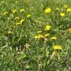 Pour avoir une belle pelouse sans nuire à la santé