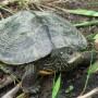 4 tortues d'une espèce menacée retracées sur la rivière Châteauguay