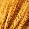 Les Moulins de Soulanges à Saint-Polycarpe fonctionnent à plein régime – 2010, une bonne année pour le blé !