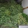 2 000 plans de marijuana saisis – La police a besoin de votre aide