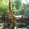 Un chêne bicolore de 1796 abattu par la tempête Irène