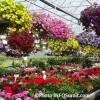 Horticulture – Plein feu sur les fleurs des Frères Leduc