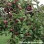 C'est le temps des pommes sur le Circuit du Paysan