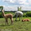 Visite en douceur chez Alpagas des Hauts Vents
