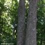 Agrile du frêne – Répertoriez vos arbres avec Géo-Frêne