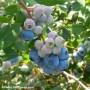 Les bons bleuets de la Vallée-du-Haut-St-Laurent