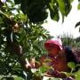 Le Haut-Saint-Laurent : l'autre région de la pomme