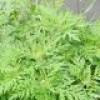 Épandage d'herbicide écologique pour contrer l'herbe à poux