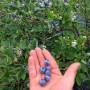 Agrotourisme – À découvrir : la Bleuetière La Grande Ourse
