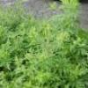 Corvée d'arrachage d'herbe à poux avec l'Escouade Verte