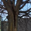 Environnement – des arbres abattus d'urgence à Valleyfield