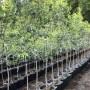 Période des inscriptions en vue d'une nouvelle distribution d'arbres à Mercier