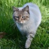 Chats errants à Châteauguay : soirée d'information pour un programme de la SPCA