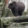 Des ours qui fascinent : exposition d'Anne-Josée Laquerre à voir au Musée régional