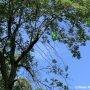 Présence marquée de l'agrile du frêne à Valleyfield