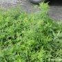 Épandage d'herbicide écologique contre l'herbe à poux à Vaudreuil-Dorion