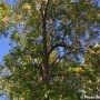Agrile du frêne – le bois de frêne accepté à l'Écocentre