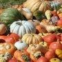 Citrouilles et courges en décorations d'Halloween et aussi pour cuisiner