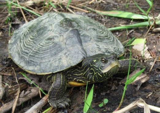 tortue-geographique-Photo-Anais_Boutin-Eco-Nature-via-ROBVQ