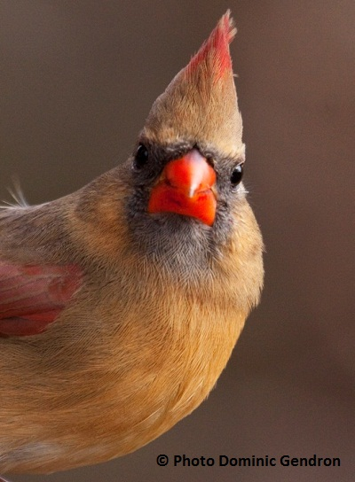 cardinal_rouge_photo_Dominic_Gendron_MG_8272