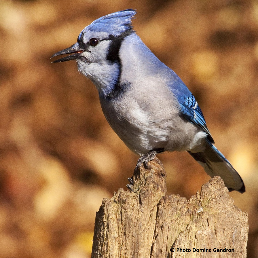 Geai-bleu-Photo-Dominic-Gendron-publiee-par-INFOSuroit-com_