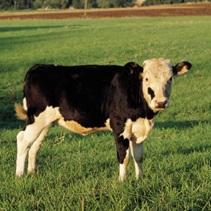 Agriculture vache Photo CPA publiee par INFOSuroit.com_