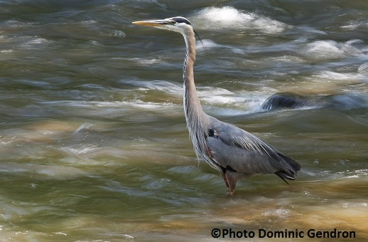 Grand-Heron-expo-Biodiversite-II-Photo-Dominic-Gendron-publiee-par-INFOSuroit-com_
