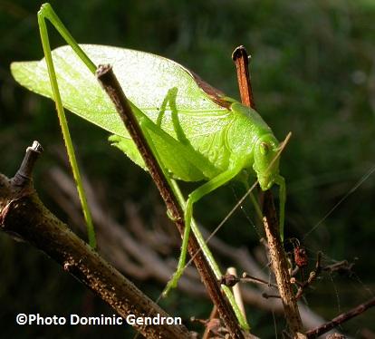 Insecte-Scudderie-a-ailes-oblongues-sur-ile-Saint-Bernard-Photo-Dominic-Gendron-publiee-par-INFOSuroit-com_