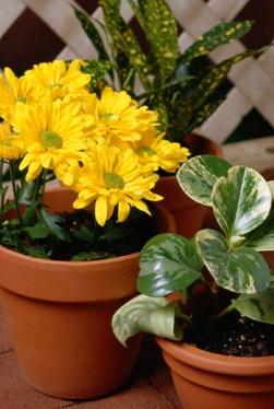 fleurs-vivaces-pots-de-fleurs-plante-Photo-CPA-publiee-par-INFOSuroit-com_